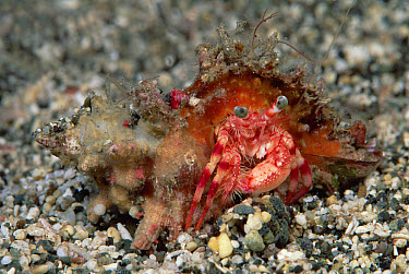 Left-handed Hermit Crab (Paguristes sp) 30 feet deep, Solomon Islands  -  Chris Newbert