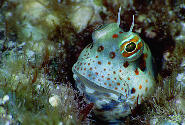 Freckle Face Blenny (Istiblennius chrysospilos) in burrow, five feet deep, Solomon Islands  -  Chris Newbert