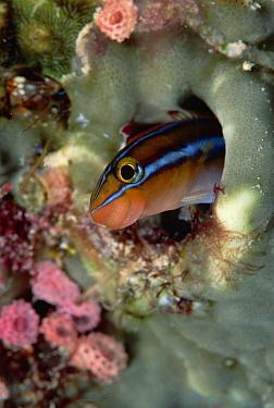 Blue-striped Blenny (Plagiotremus rhinorhynchos) in its burrow, Solomon Islands  -  Chris Newbert