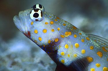 Spotted Prawn Goby (Amblyeleotris guttata) portrait 40 feet deep, Solomon Islands  -  Chris Newbert