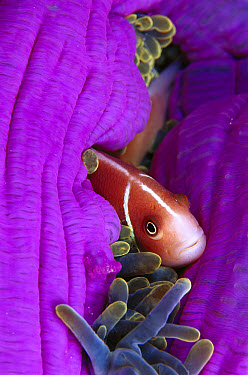 Pink Anemone fish (Amphiprion perideraion) in host Magnificent Sea Anemone  -  Birgitte Wilms
