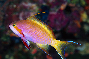 Red-cheeked Anthias (Pseudanthias huchtii) male at 50 foot depth, Solomon Islands  -  Birgitte Wilms