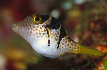Saddled Pufferfish (Canthigaster valentini) juvenile, 50 feet deep, Solomon Islands  -  Birgitte Wilms