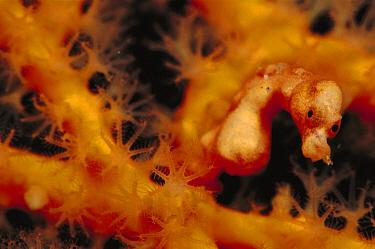 Seahorse (Hippocampus sp) on Sea Fan (Melithaea sp) 40 feet deep, Solomon Islands  -  Birgitte Wilms