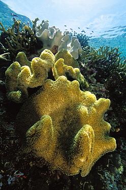 Leather Coral (Sarcophyton sp) growing close to surface, Solomon Islands  -  Birgitte Wilms