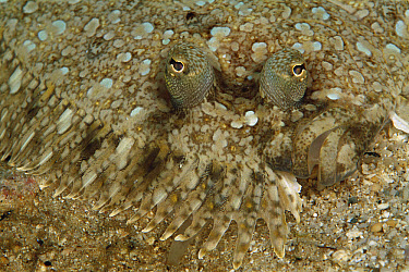Lefteye Flounder (Bothus sp) portrait, camouflaged against sandy ocean floor, 60 feet deep, Solomon Islands  -  Birgitte Wilms