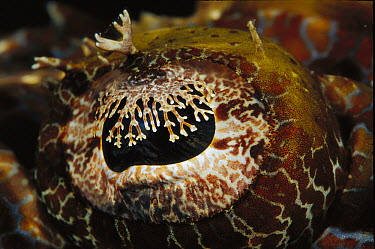 Beaufort's Crocodilefish (Cymbacephalus beauforti) eye detail, 40 feet deep, Solomon Islands  -  Birgitte Wilms