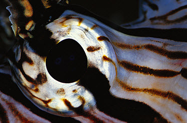 Common Lionfish (Pterois volitans) detail of eye, 40 feet deep, Solomon Islands  -  Birgitte Wilms