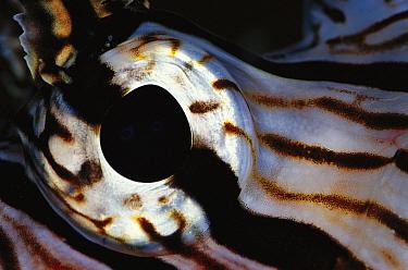 Common Lionfish (Pterois volitans) detail of eye, 40 feet deep, Solomon Islands  -  Birgitte Wilms