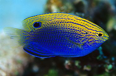 Princess Damsel (Pomacentrus vaiuli) 30 feet deep, Solomon Islands  -  Birgitte Wilms