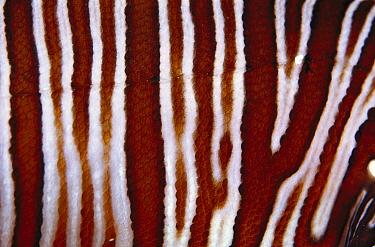 Common Lionfish (Pterois volitans) detail of patterns on skin, 30 feet deep, Solomon Islands  -  Birgitte Wilms