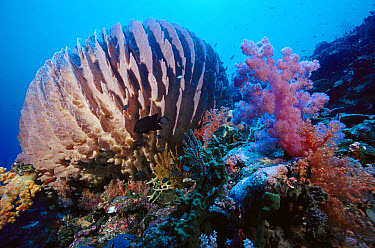 Giant Barrel Sponge (Xestospongia testudinaria) and Soft Coral (Dendronephthya sp) with baitfish and Damselfish (Chromis margaritifer) 90 feet deep Solomon Islands  -  Chris Newbert