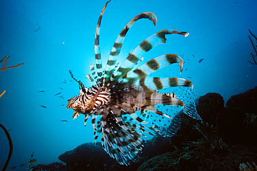 Common Lionfish (Pterois volitans) 40 feet deep, Solomon Islands  -  Chris Newbert