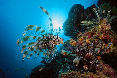 Common Lionfish (Pterois volitans) trio at 40 feet, Solomon Islands  -  Chris Newbert