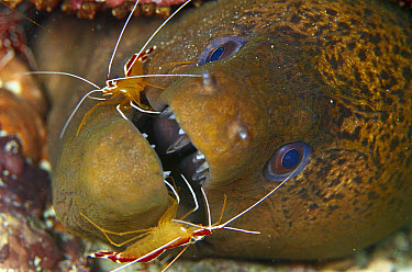 Scarlet Cleaner Shrimp (Lysmata amboinensis) pair cleaning a Moray Eel (Gymnothorax ocellatus) 80 feet deep, Solomon Islands  -  Chris Newbert