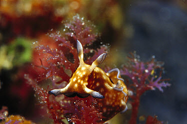 Sea Slug (Elysiidae) portrait, 50 feet deep, Solomon Islands  -  Chris Newbert