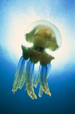Papuan Jellyfish (Mastigias papua) 20 feet deep, Solomon Islands  -  Chris Newbert