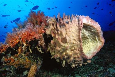 Giant Barrel Sponge (Xestospongia testudinaria) and Soft Coral (Dendronephthya sp) 90 feet deep, Solomon Islands  -  Chris Newbert