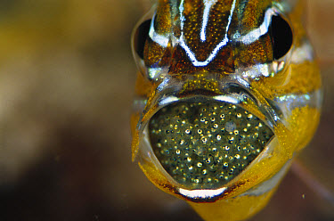 Yellow-striped Cardinalfish (Apogon cyanosoma) male with eggs in mouth, 40 feet deep, Solomon Islands  -  Chris Newbert