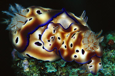 Tyron's Risbecia (Risbecia tryoni) mating pair, 60 feet deep, Solomon Islands  -  Chris Newbert