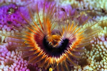 Star Horseshoe Worm (Pomatostegus stellatus) growing in Hump Coral (Porites sp) 40 feet deep, Solomon Islands  -  Chris Newbert