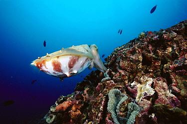 Cuttlefish (Sepia sp) depositing eggs into a coral head, 80 feet deep, Solomon Islands  -  Chris Newbert