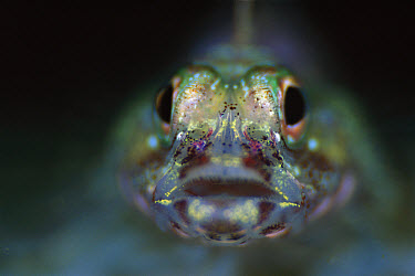 Goby (Pleurosicya mossambica) portrait, 50 feet deep, Solomon Islands  -  Chris Newbert