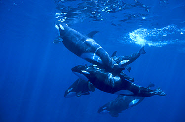 Orca (Orcinus orca) pod of two males two females and one calf, at surface, Solomon Islands  -  Chris Newbert