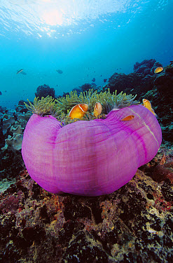Pink Anemonefish (Amphiprion perideraion) in Magnificent Sea Anemone (Heteractis magnifica) the fish will bite the Anemone causing it to ball-up so the fish can lay or tend to their eggs at the foot o...  -  Chris Newbert