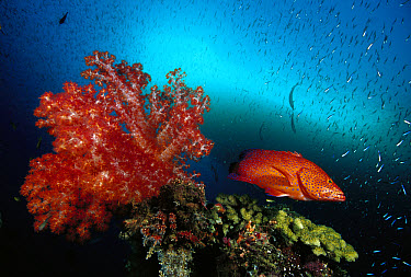 Grouper (Cephalopholis sp) and Soft Coral (Dendronephthya sp) 70 feet deep, Solomon Islands  -  Chris Newbert