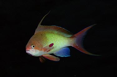 Basslet (Pseudanthias sp) portrait, 50 feet deep, Solomon Islands  -  Chris Newbert