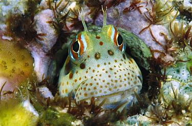 Freckle Face Blenny (Istiblennius chrysospilos) peeking out of burrow, 10 feet deep, Solomon Islands  -  Chris Newbert