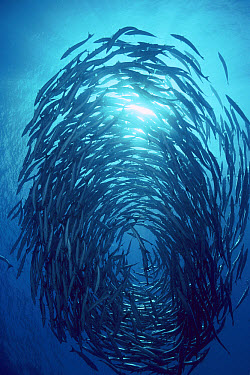 Blackfin Barracuda (Sphyraena qenie) schooling, 70 feet deep, Solomon Islands  -  Chris Newbert