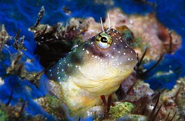 Blenny (Ecsenius sp) peeking out of its burrow, 20 feet deep, Solomon Islands  -  Birgitte Wilms