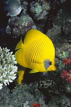 Masked Butterflyfish (Chaetodon semilarvatus) 30 feet deep, Red Sea, Egypt  -  Chris Newbert