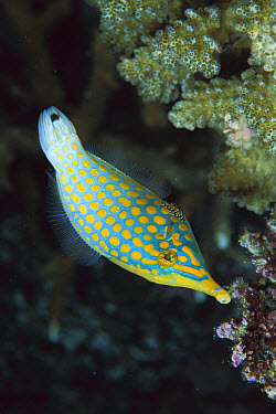 Beaked Leatherjacket (Oxymonacanthus longirostris) uses long pointed snout to extract Coral polyps, 30 feet deep, Solomon Islands  -  Chris Newbert