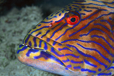 Highfin Coralgrouper (Plectropomus oligacanthus) portrait 60 feet deep, Solomon Islands  -  Chris Newbert