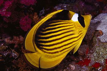 Diagonal Butterflyfish (Chaetodon fasciatus) 50 feet deep, Solomon Islands  -  Chris Newbert