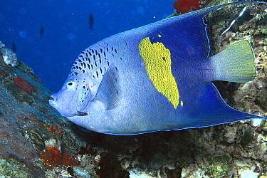 Map Angelfish (Pomacanthus maculosus) underwater, side view, Red Sea, Egypt  -  Birgitte Wilms