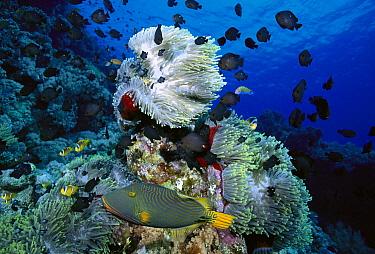 Magnificent Sea Anemone (Heteractis magnifica) swarmed by Damselfish (Dascyllus sp) with Orange-striped Triggerfish (Balistapus undulatus) in foreground  -  Birgitte Wilms