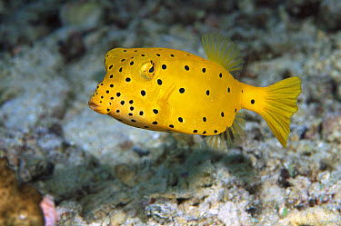 Yellow Boxfish (Ostracion cubicus) juvenile, Solomon Islands  -  Chris Newbert
