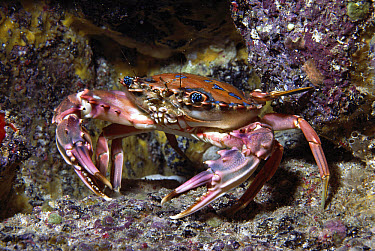 Rainbow Swimming Crab (Charybdis erythrodactyla) 20 feet deep, Hawaii  -  Chris Newbert