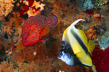 Grouper (Cephalopholis sp) and Red Sea Bannerfish (Heniochus intermedius), Red Sea, Egypt  -  Chris Newbert