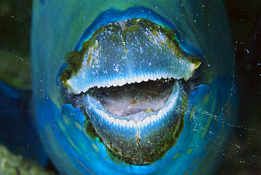 Parrotfish (Scarus sp) sleeping, close-up of mouth parrotfish create a protective cocoon around their body by secreting mucous from their mouth, Solomon Islands  -  Birgitte Wilms