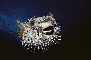 Porcupinefish (Diodon sp), Red Sea, Egypt  -  Birgitte Wilms