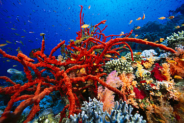 Sponge (Latrunculia magnifica) surrounded by Basslet (Pseudanthias sp) and Soft Coral (Dendronephthya sp), Jackson Reef, Red Sea  -  Chris Newbert