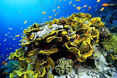 Stony Coral (Acropora sp) and baitfish, Solomon Islands  -  Chris Newbert