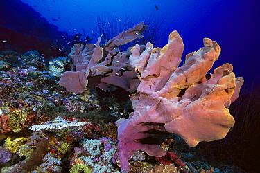 Elephant Ear Sponge (Ianthella basta) growing on coral reef, Solomon Islands  -  Chris Newbert