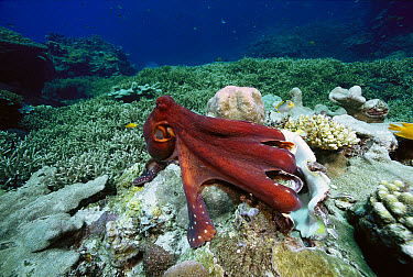 Octopus (Octopus sp) eating Giant Clam (Tridacna sp), Solomon Islands  -  Chris Newbert
