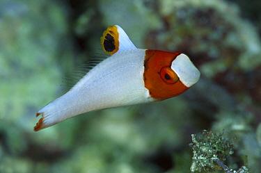 Parrotfish (Scaridae) portrait of juvenile, Solomon Islands  -  Chris Newbert